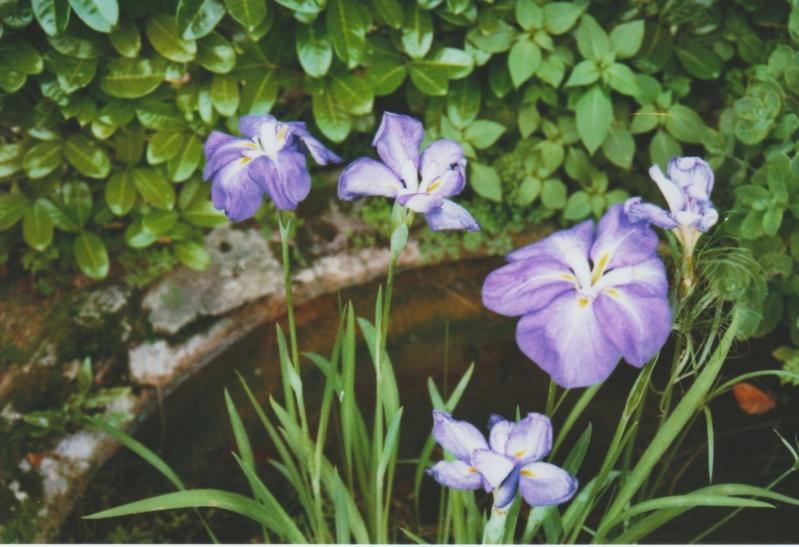 Iris  d'eau, à indentifier ? Numzo126