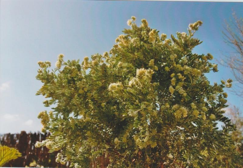Anthyllis montana L. - vulnéraire des montagnes, anthyllide des montagnes Numzo127