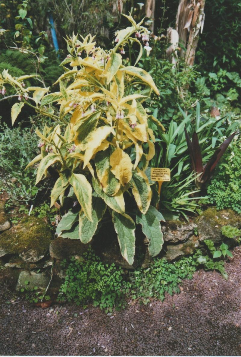 Symphytum X uplandicum 'Axminster Gold' - consoude voyageuse Numzo138