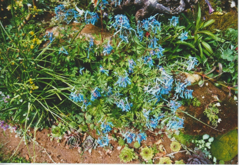 Corydalis flexuosa et hybrides Numzo143