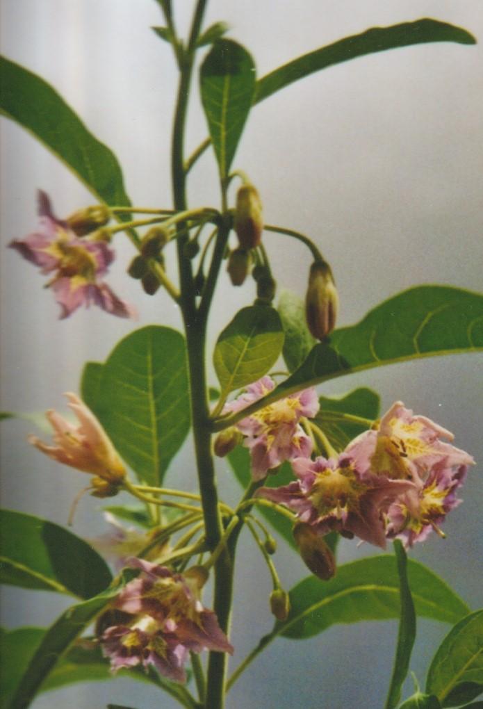 Vassobia fasciculata - Page 2 Numzo163