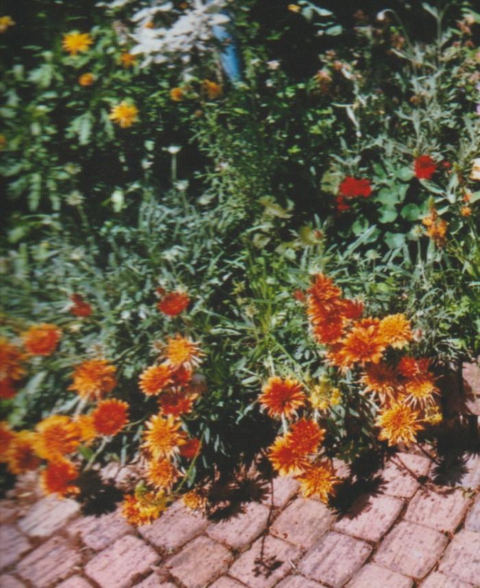 Gazania - espèces et cultivars Numzo166