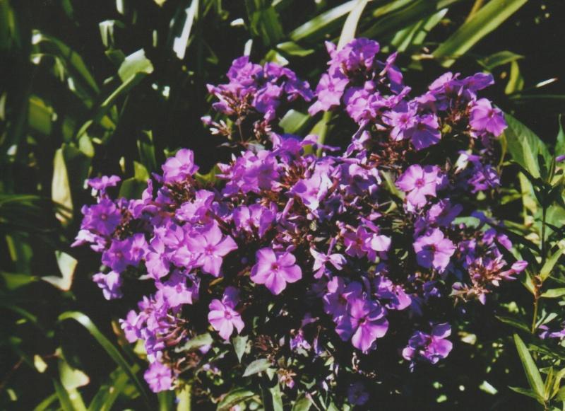 Phlox paniculata cv ? [identification non terminée] Numzo177