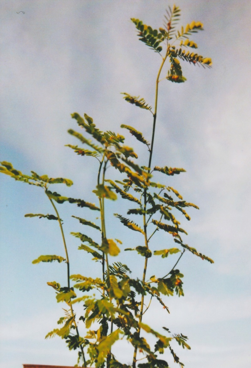 Phyllanthus urinaria - [identification] Numzo192