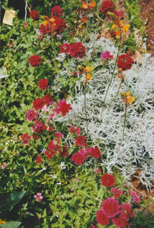 Verbena hortensis 'Patricia' Numzo193