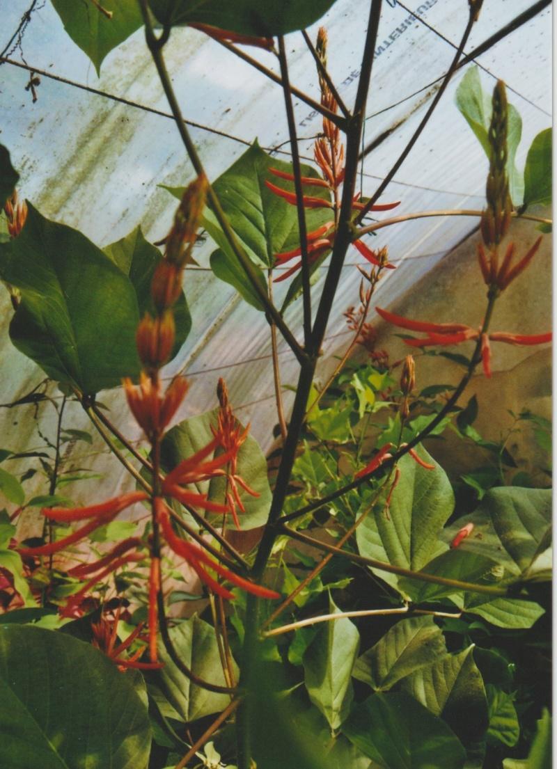 Erythrina longipes  (= Erythrina montana) Numzo210