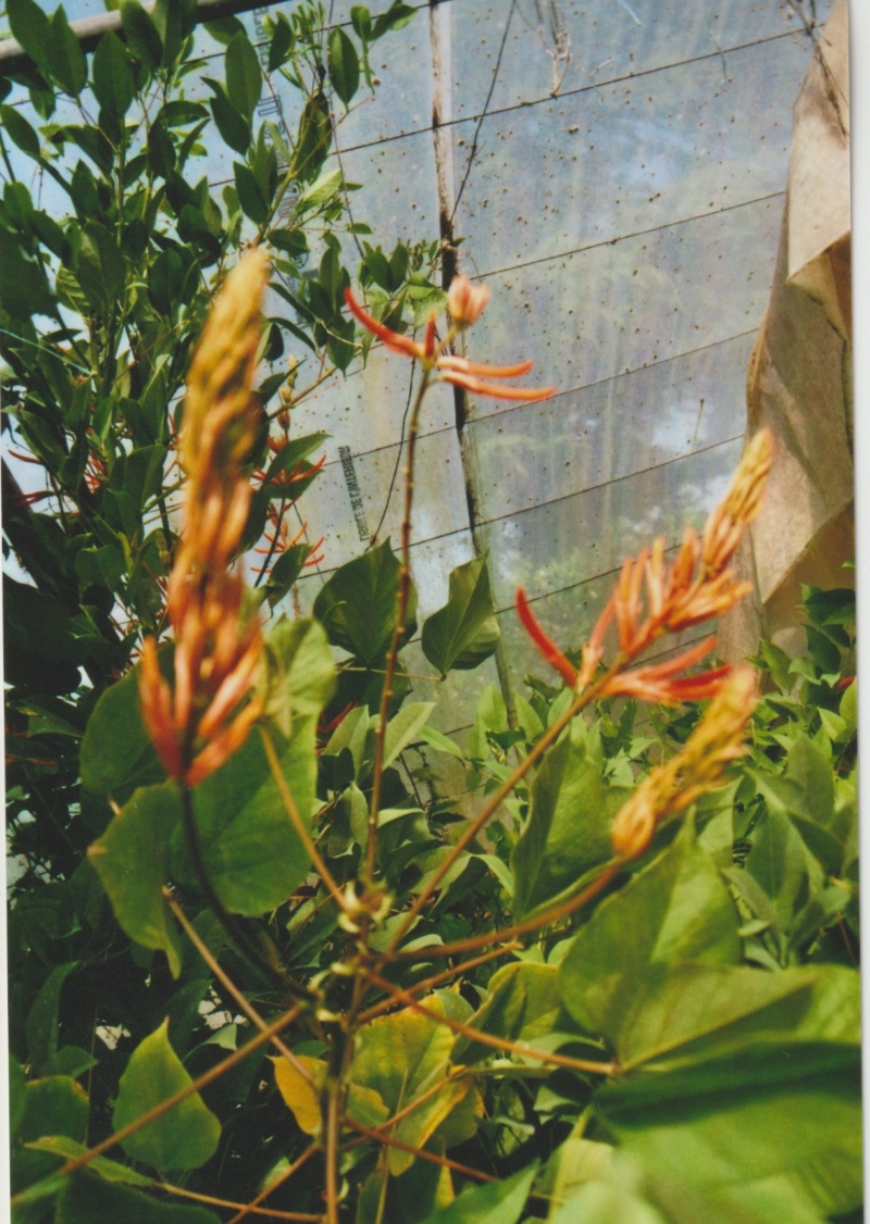 Erythrina longipes  (= Erythrina montana) Numzo213