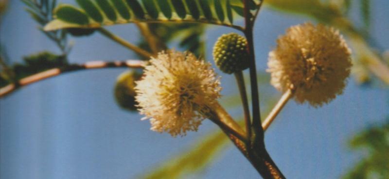 Leucaena leucocephala [devinette] Numzo216