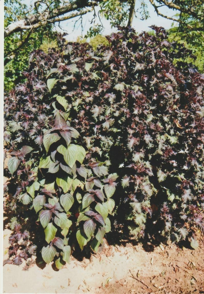 Perilla frutescens - shiso - Page 2 Numzo218