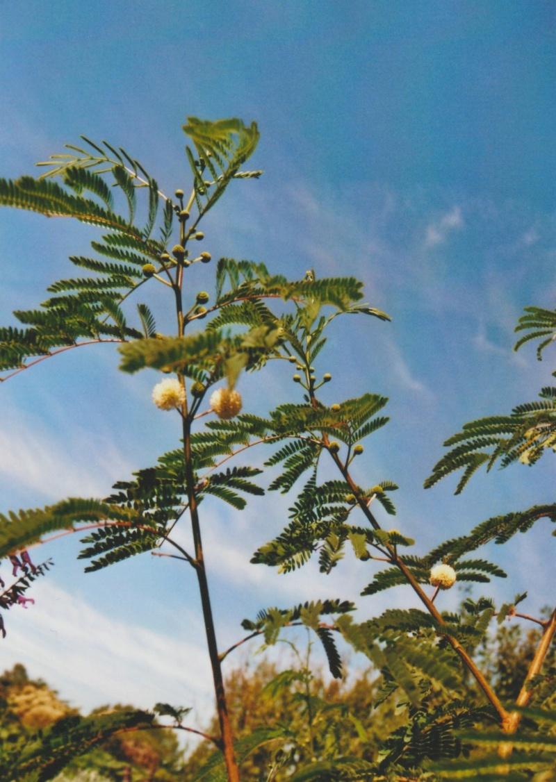 Leucaena leucocephala [devinette] Numzo220