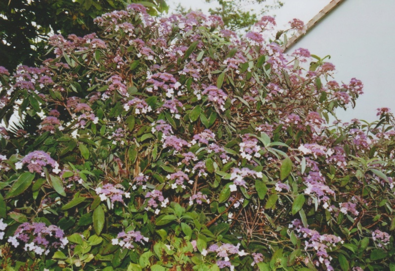 Hydrangea aspera (= H. villosa) - hortensia velu Numzo224