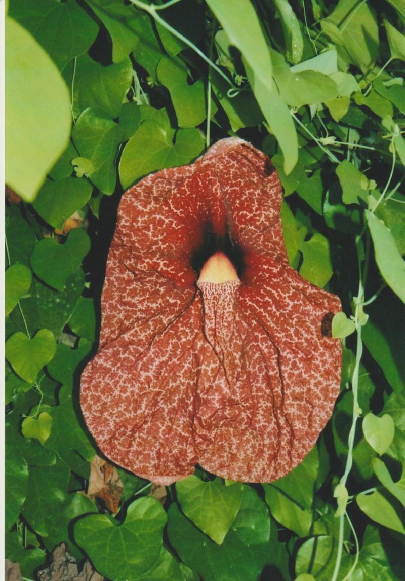 Aristolochia gigantea - Page 2 Numzo226