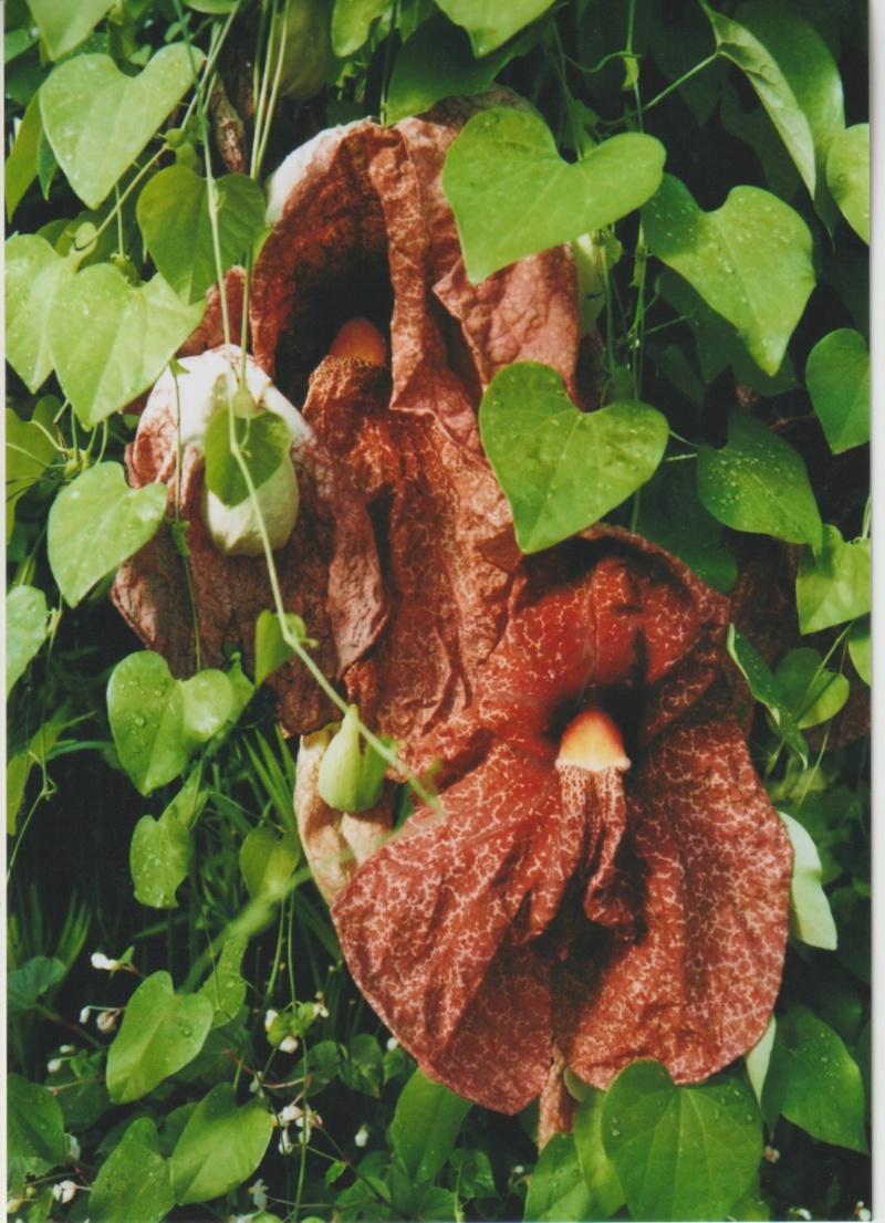 Aristolochia gigantea - Page 2 Numzo234