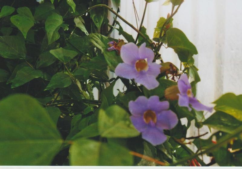 Thunbergia grandiflora 'Augusta Blue' - trompette du Bengale Numzo238