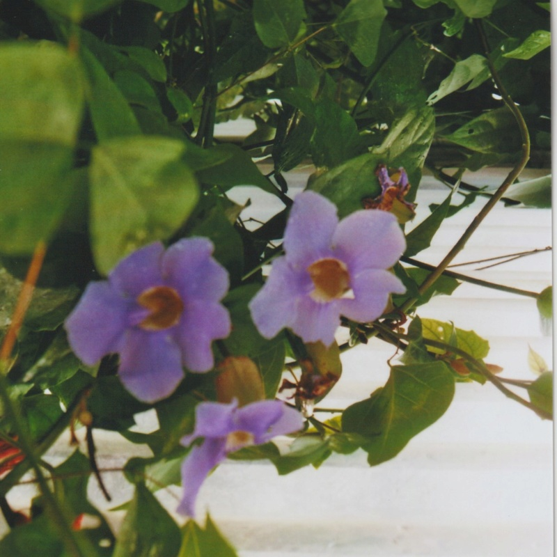 Thunbergia grandiflora 'Augusta Blue' - trompette du Bengale Numzo239