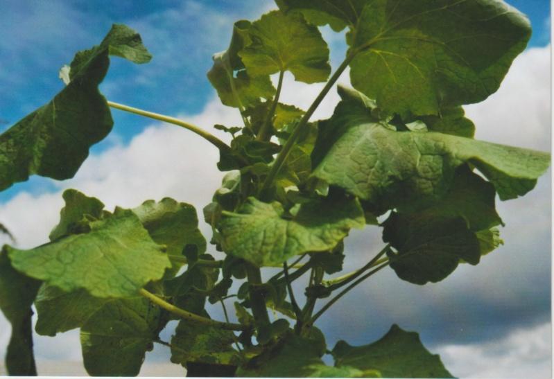 Nouvelle présentation d'une plante inconnue, au jardin de Michou Numzo243