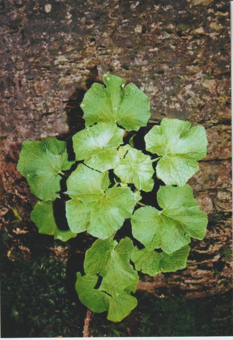 Nouvelle présentation d'une plante inconnue, au jardin de Michou Numzo260