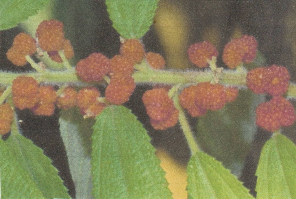 Debregeasia  longifolia - orange sauvage Numzo262