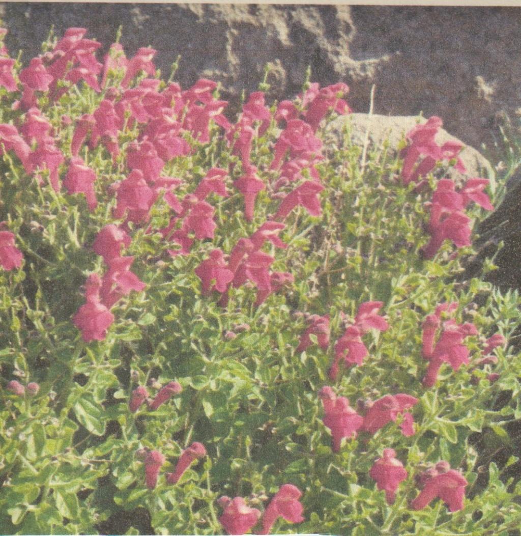 """Scutellaria suffrutescens """" Texas Rose """"- scrutellaire mexicaine Numzo263"""