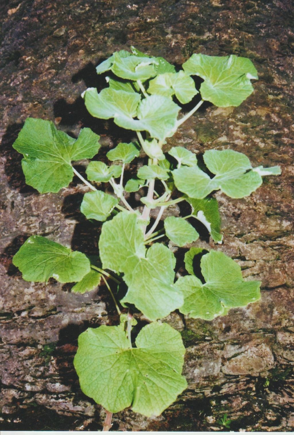 Nouvelle présentation d'une plante inconnue, au jardin de Michou - Page 2 Numzo265