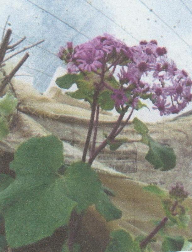 Nouvelle présentation d'une plante inconnue, au jardin de Michou - Page 2 Numzo269