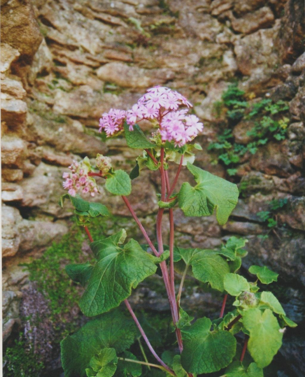 Nouvelle présentation d'une plante inconnue, au jardin de Michou - Page 2 Numzo280
