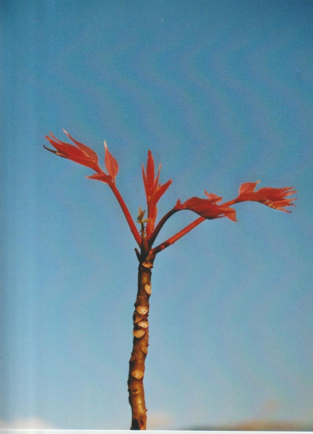 Une petite devinette Machecoulaise - Toona sinensis Flamingo Numzo282