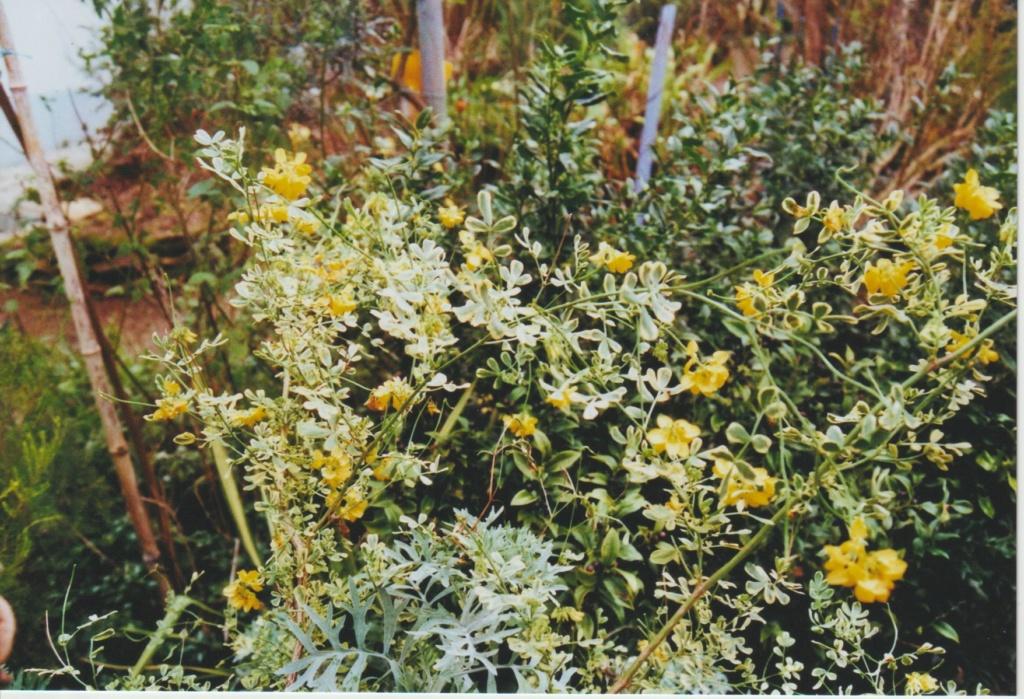 Coronilla glauca (= C. valentina subsp. glauca) - coronille glauque Numzo283