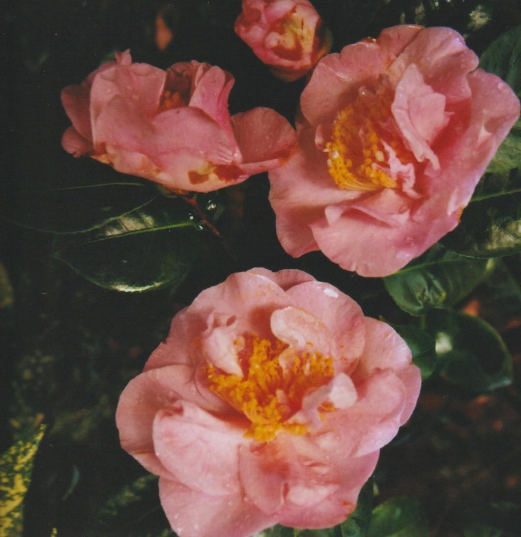 Camellia 'Mme Marie-Jo' Numzo309