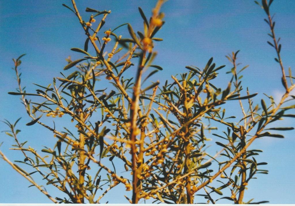 Melicytus angustifolius (= Hymenanthera angustifolia) Numzo315