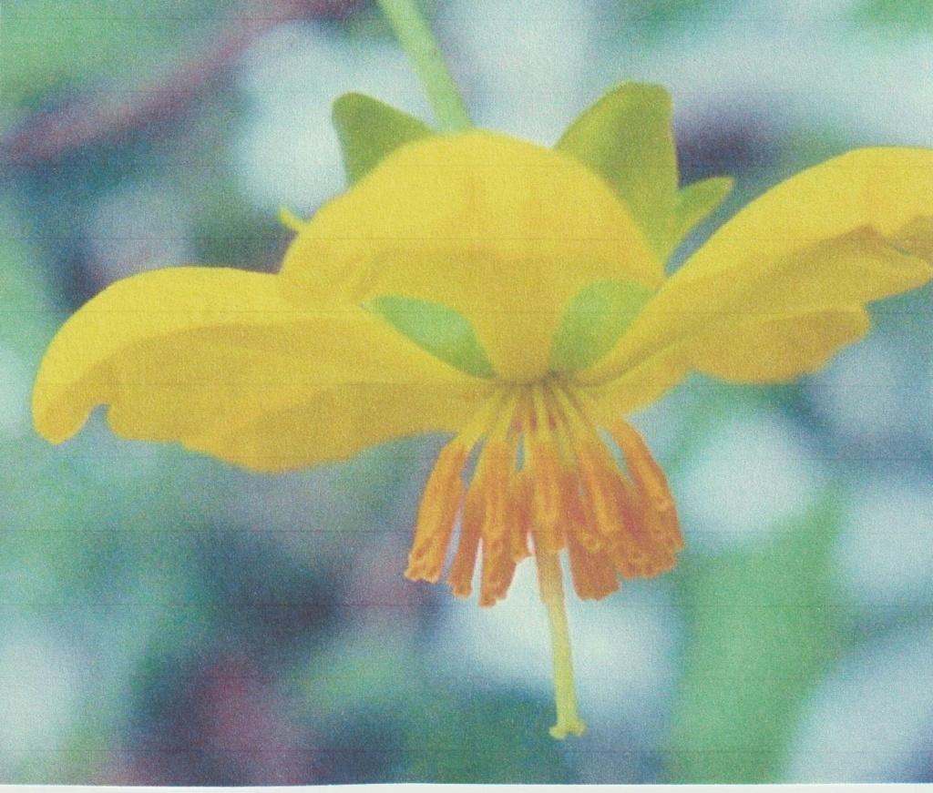 Ochna serrulata - plante à Mickey Numzo337