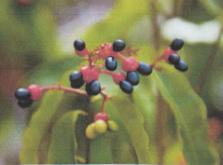 Ochna serrulata - plante à Mickey Numzo338