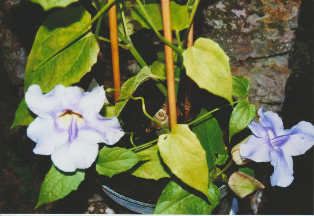 Thunbergia grandiflora 'Augusta Blue' - trompette du Bengale Numzo339