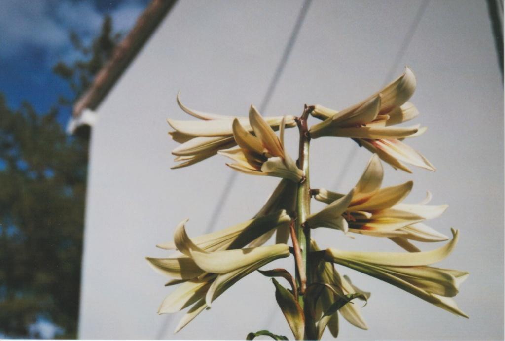 Cardiocrinum giganteum - lis géant de l'Himalaya Numzo341
