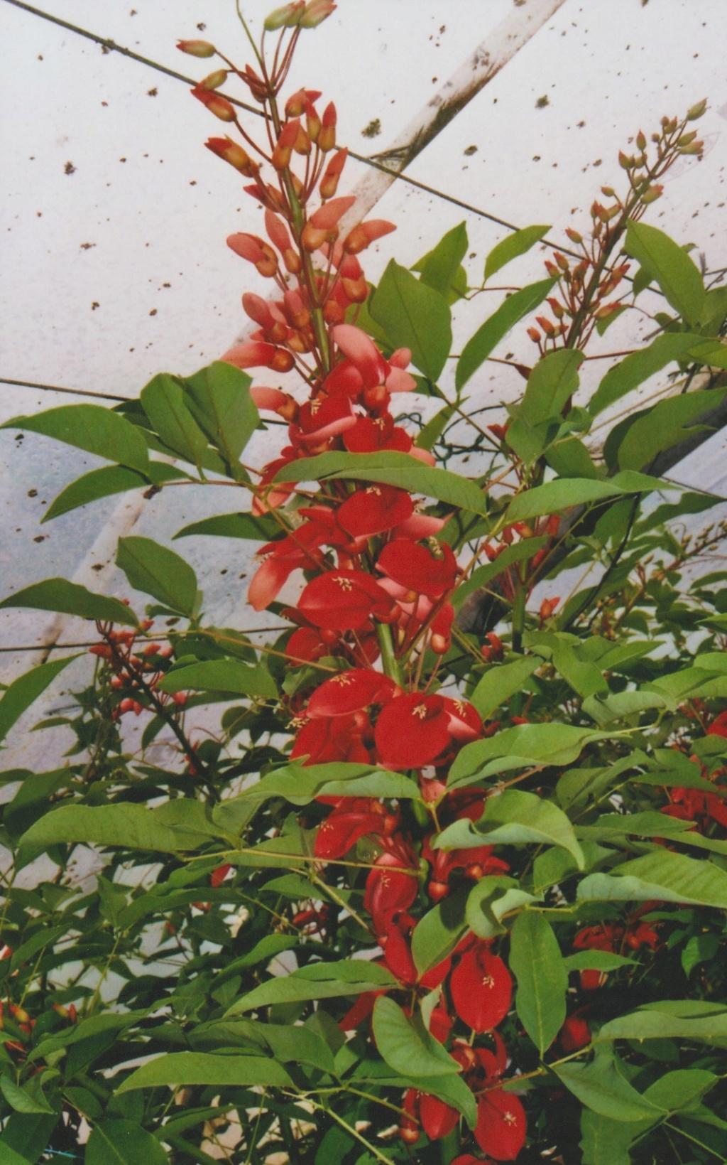 Erythrina crista-galli - Page 12 Numzo374