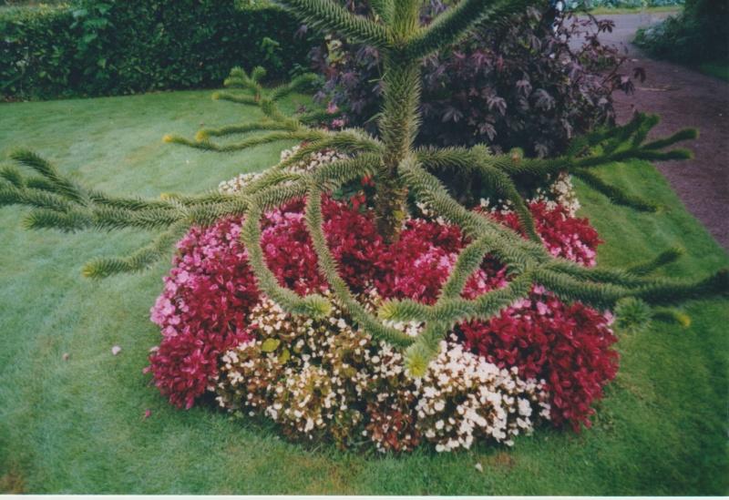 Araucaria araucana - désespoir du singe - Page 3 Numzor12