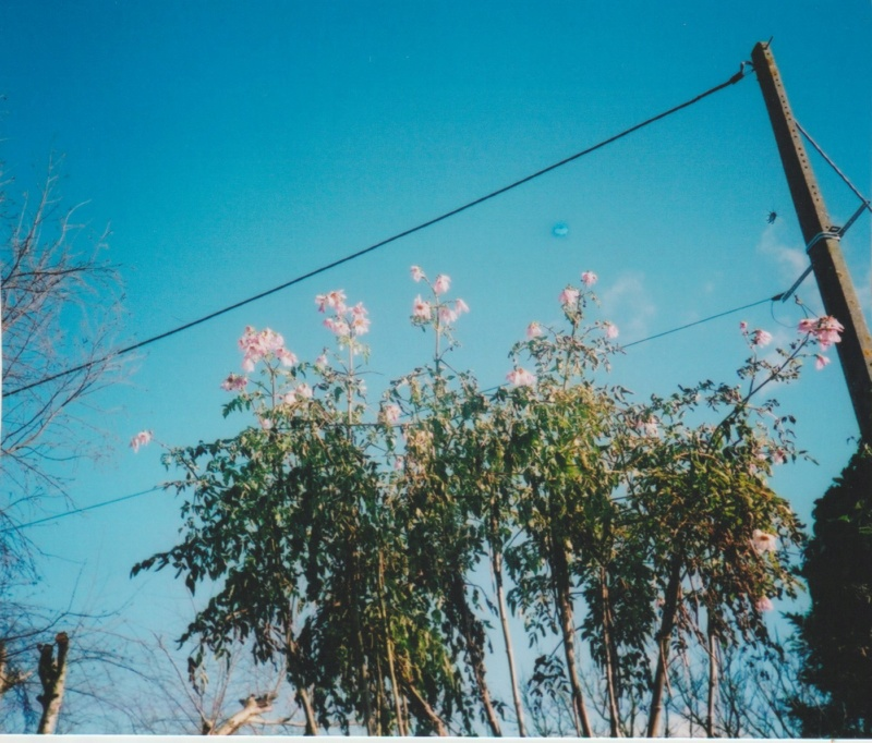Dahlia imperialis - Page 8 Numzor15