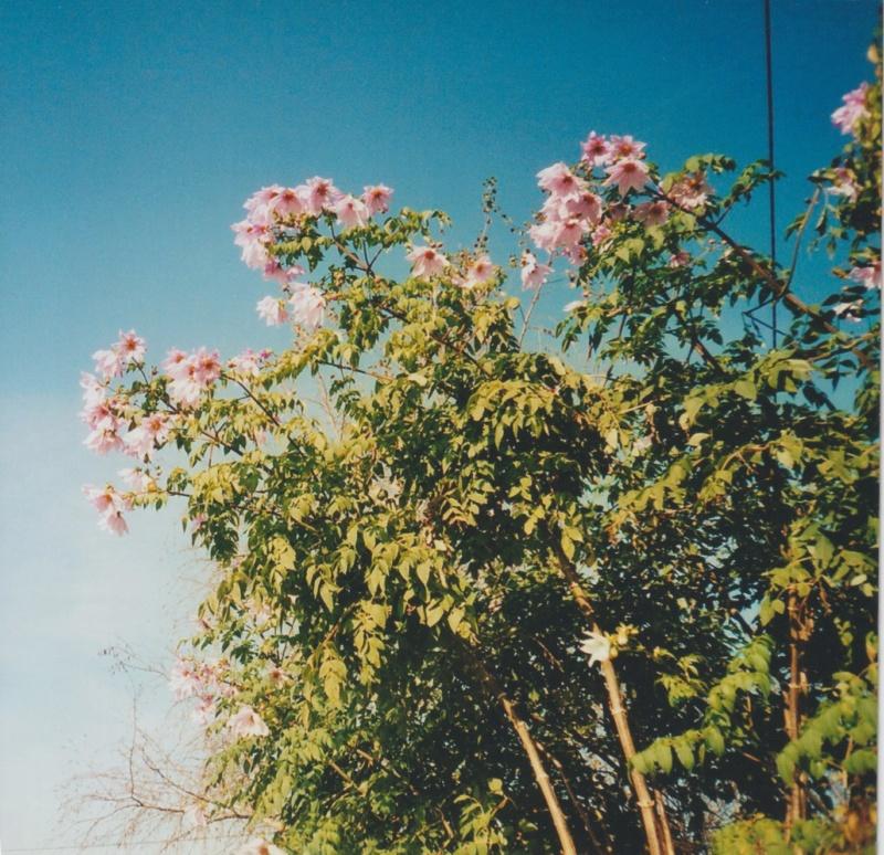 Dahlia imperialis - Page 8 Numzor17