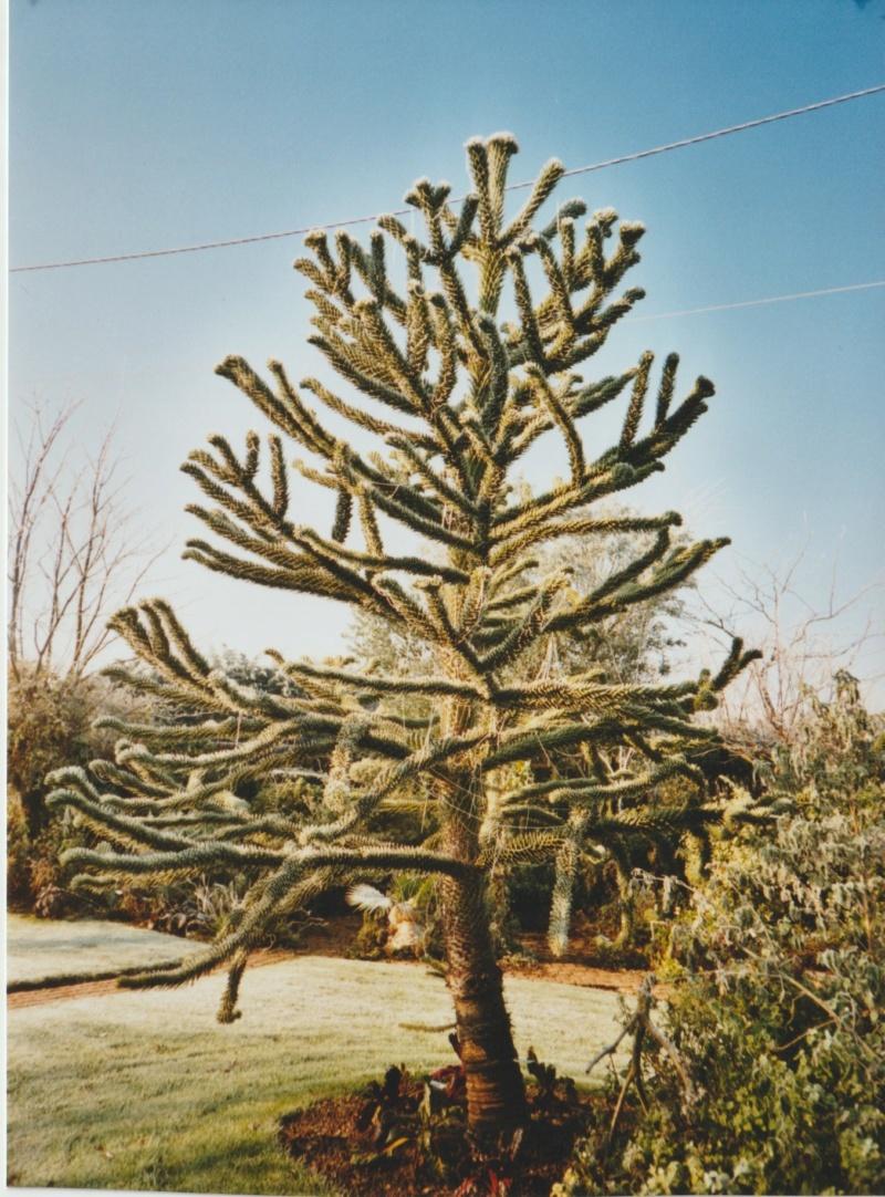 Araucaria araucana - désespoir du singe - Page 3 Numzor19