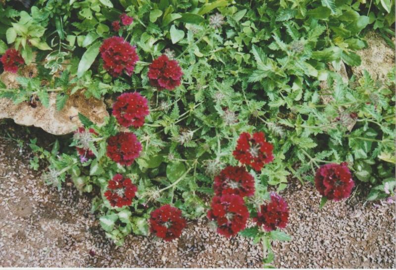 Verbena hortensis 'Patricia' Numzor34