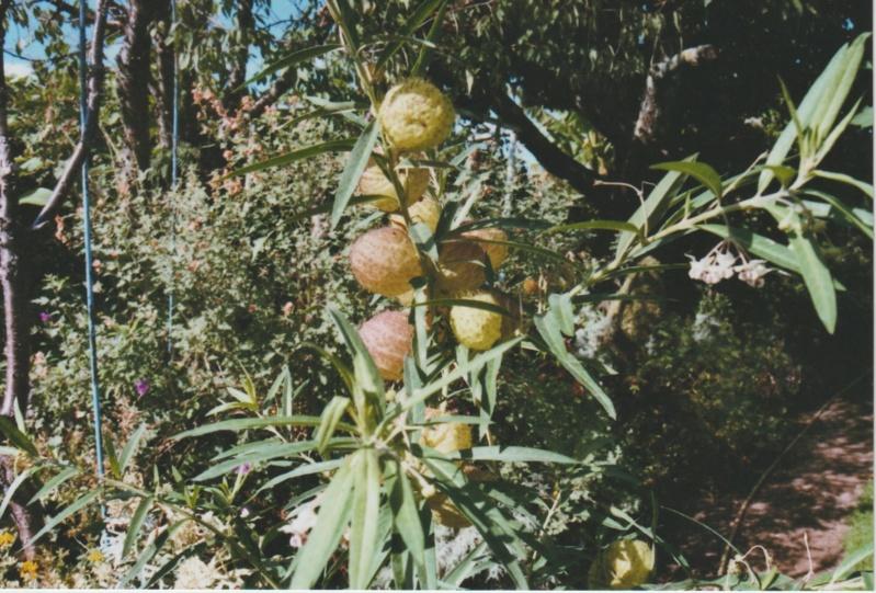Gomphocarpus fruticosus - faux cotonnier Numzor42