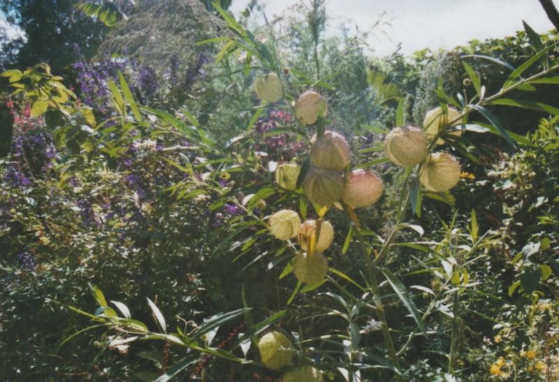 Gomphocarpus fruticosus - faux cotonnier Numzor46