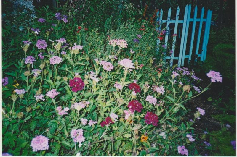 Verbena hortensis 'Patricia' Numzor48