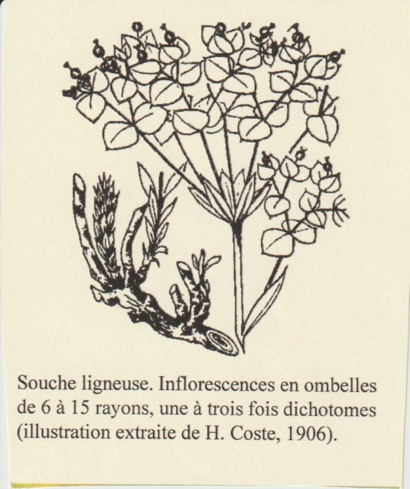Euphorbia seguieriana - euphorbe de Séguier Numzor52