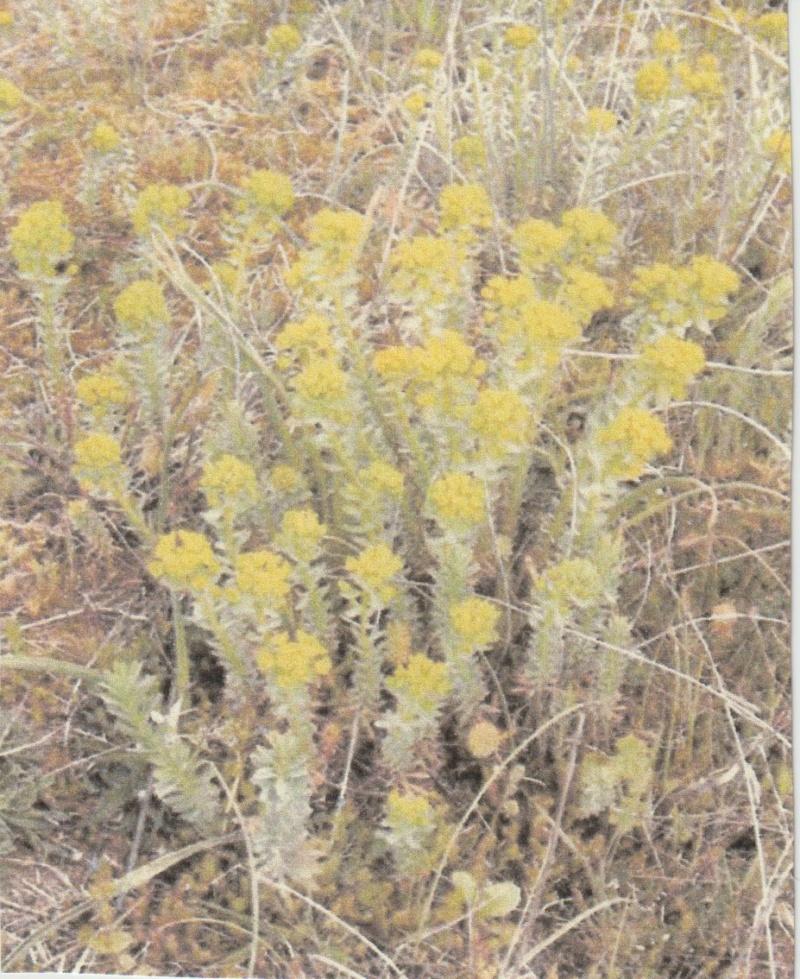 Euphorbia seguieriana - euphorbe de Séguier Numzor58