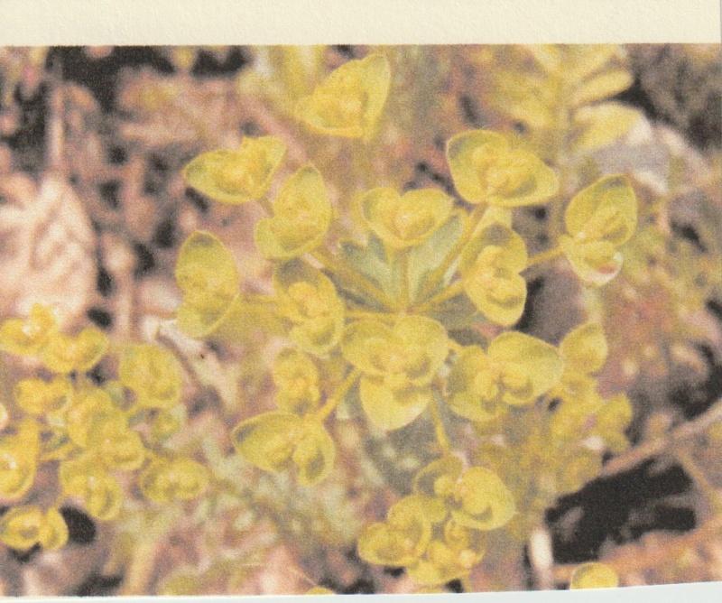 Euphorbia seguieriana - euphorbe de Séguier Numzor75