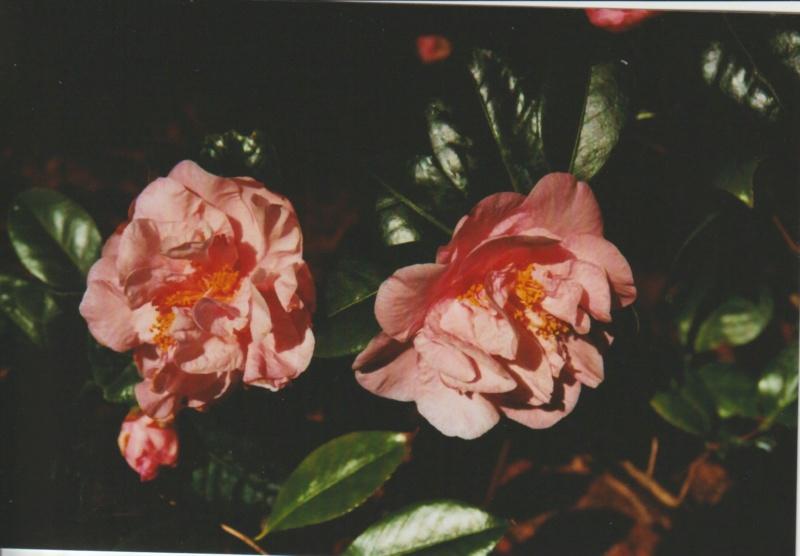 Camellia 'Mme Marie-Jo' Numzor82