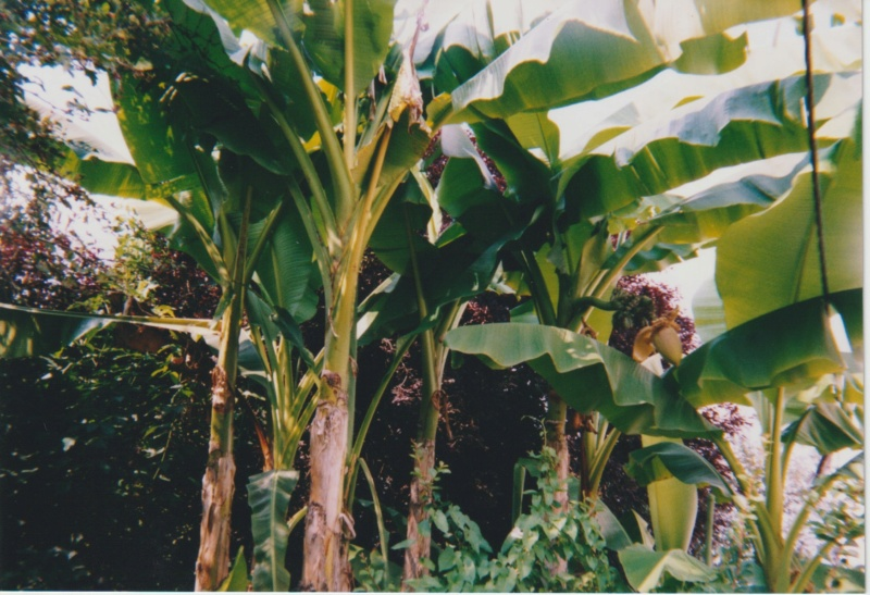 Musa basjoo - bananier du Japon - Page 2 Numzor88