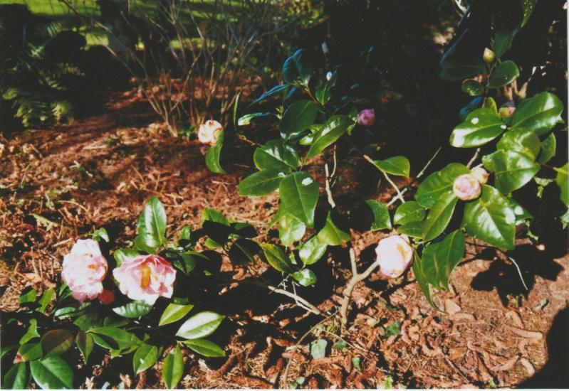 Camellia 'Mme Marie-Jo' Numzor93