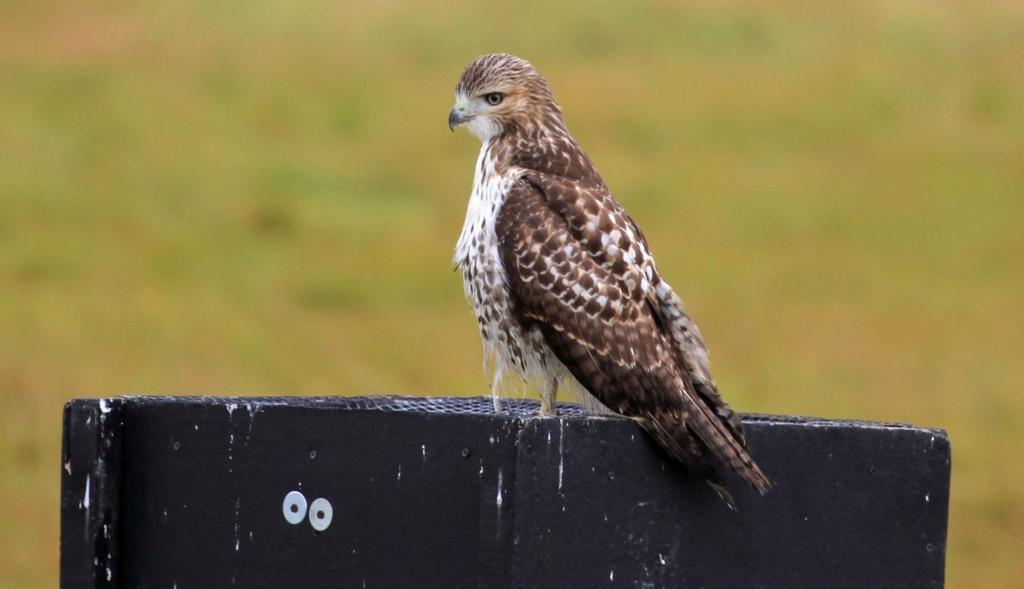 Aide d'identification pour ces 2 oiseaux svp. Boston10